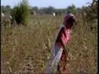 MS Gujarat, Indian girl picking cotton, Gujarat, India
