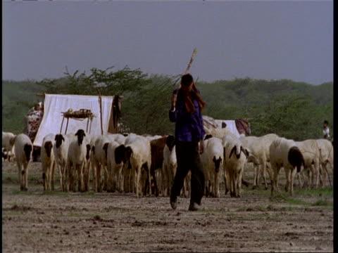MS Gujarat, Indian man leading flock of sheep, to camera, Gujarat, India