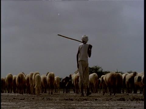 MS Gujarat, Indian men herding flock of sheep, away from camera, Gujarat, India