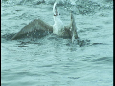 A gull catches and eats a fish in the Atlantic Ocean.