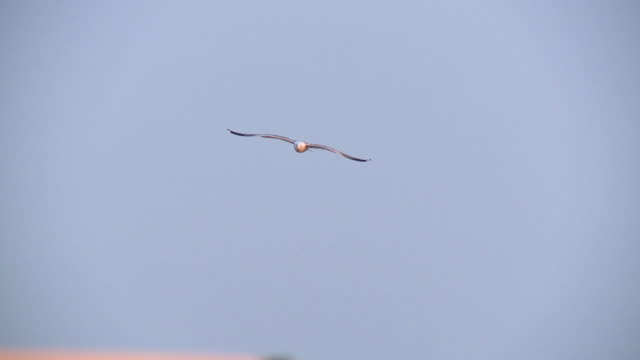 SLO MO WS TS Gull flying against clear sky, Cres, Croatia