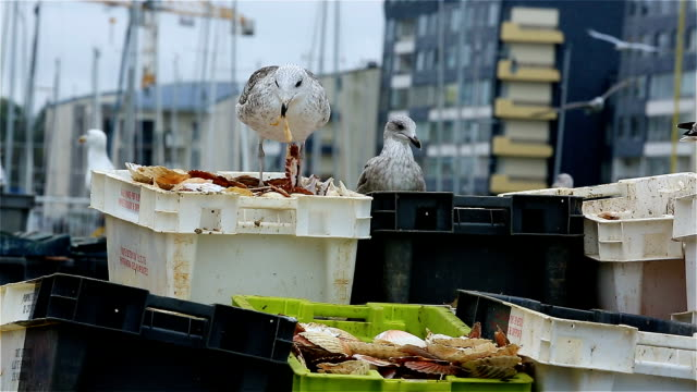 Gulls in an urban area, Courseulles sur Mer, Calvados, Normandy, France
