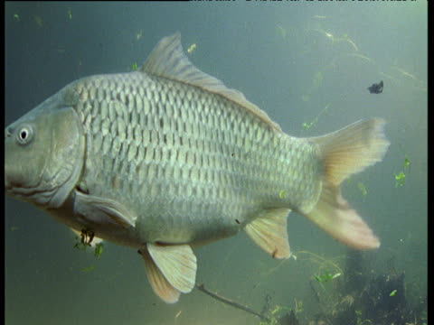 Gulping Carp slowly swims past camera, other Carp follow, UK