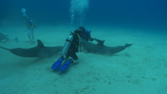 Habituated bottlenose dolphin (Tursiops truncatus) interacts with divers (some uncleared) then excretes near Liam Allan (cleared) near sea floor, Roatan Island, Honduras