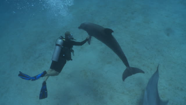 Habituated bottlenose dolphins (Tursiops truncatus) interact with dive leader and Sue Flood (some other divers uncleared) near sea floor, Roatan Island, Honduras