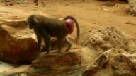 Hamadryas baboon walking on rocks and cleaning his foot