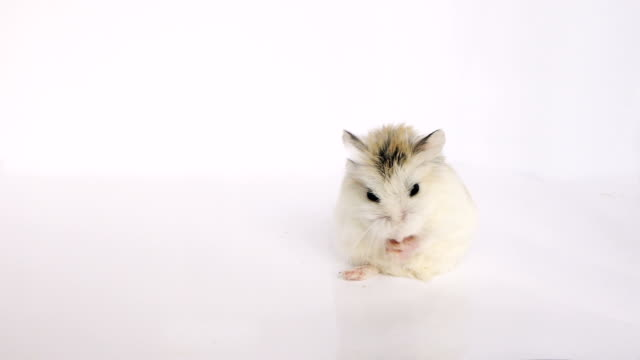 Hamster cleans his snout