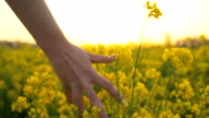 HD SLOW-MOTION: Hand Caressing The Canola Flowers