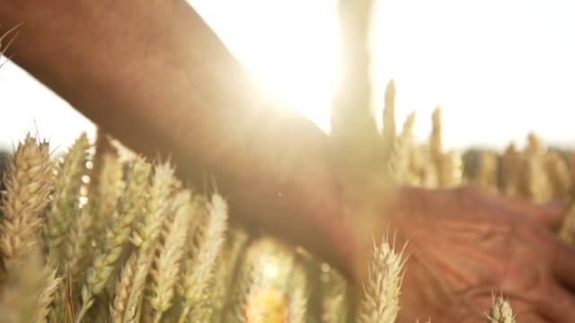 HD SUPER SLOW MOTION: Mano accarezzano il grano