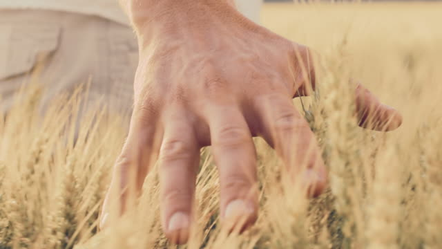 SLO MO Hand caressing wheat in the field