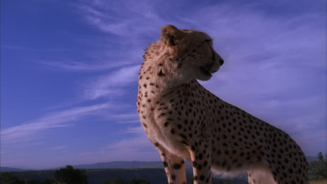 Hand held low angle shot of a cheetah standing and looking around then moving back to reveal that it standing on a vehicle's bonnet