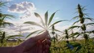 SLO MO Hand holding a hemp leaf
