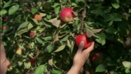 A hand picks an apple from a tree.