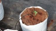 hand women transplant watermelon seedling on coco peat.