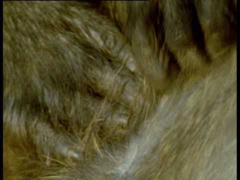 Hands grooming Baboon fur, Kenya