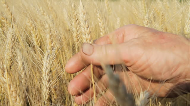 HD DOLLY: Hands Holding Wheat Stalks