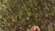 CU SLO MO hands picking bean from bush / ElGouna, RED Sea, Egypt