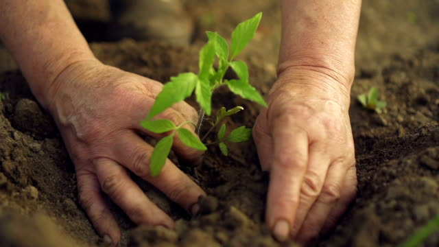 Hands planting green seedling