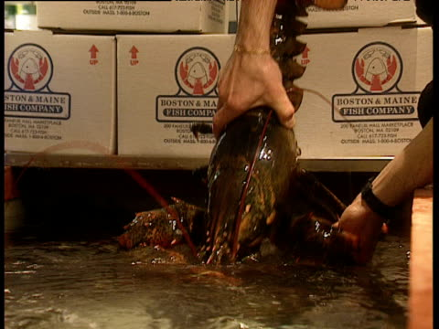 Hands pull huge lobster out of water tank pincers banded together lobster then put it back into tank