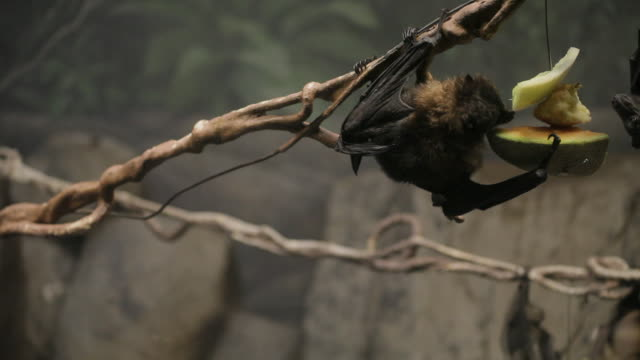 A hanging fruit bat eats some melon as other bats play and fly in the background