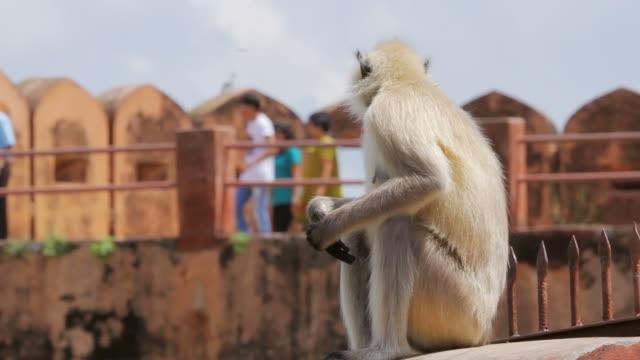 Hanuman Langur At Jaipur