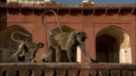 Hanuman langur walks along parapet on Tomb of Akbar the Great Available in HD.