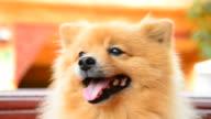 Happy Face Pomeranian Dog