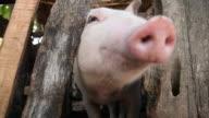 Happy pig