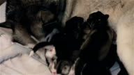 Happy Siberian Husky feeding her puppies.
