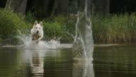 Gelukkig witte herder hond jaagt op bal