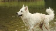 Gelukkig witte herder hond krijgen in lake en schudden van bont