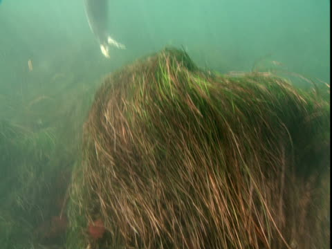 A harbour seal swims above a bed of seaweed.