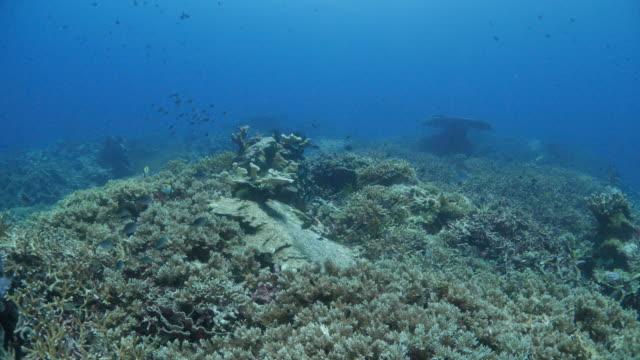 Hard coral colony undersea, Banda Islands