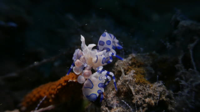 Harlequin shrimp eating a sea star, Bali, Indonesia (4K)