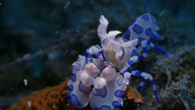 Harlequin shrimp hunting a sea star, Indonesia (4K)