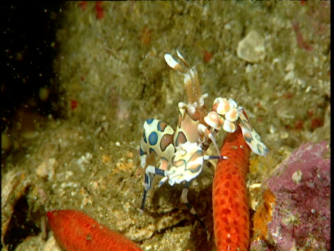 Harlequin shrimp on starfish, Phuket