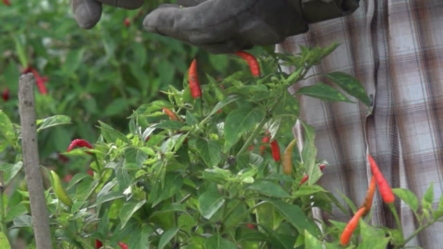 Harvest Chili Peppers At The Farm