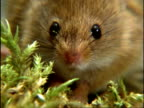 Harvest Mouse, looking to camera, sniffing, England