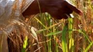 Harvest Rice.