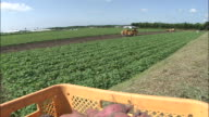 Harvested sweet potatoes occupy a basket while a tractor harvests in a field.