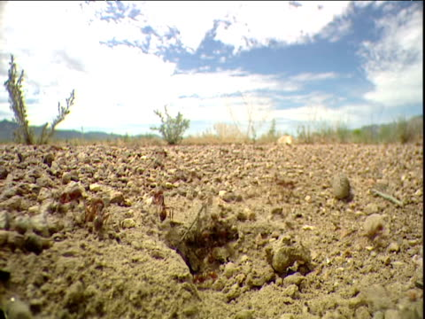 Harvester ants carry seeds back to their nest