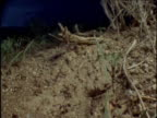 Harvester ants dash in and out of nest as lightning storm flashes over desert