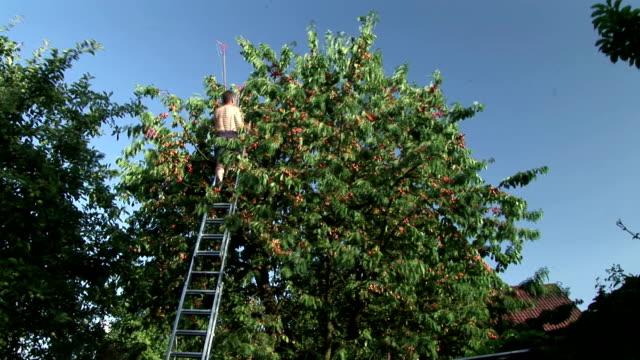 HD TIME-LAPSE: Harvesting Cherries