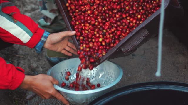 harvesting cherry coffee beans