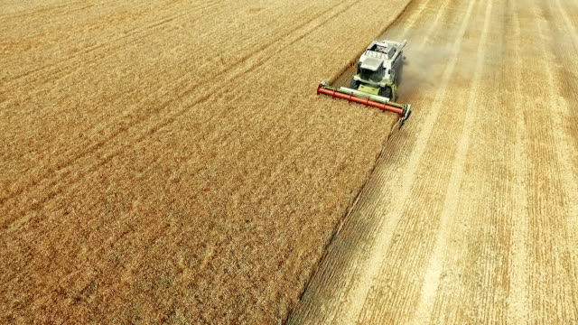 Harvesting in summer wheat field