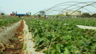 Harvesting of strawberries