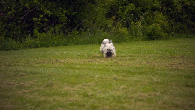 WS SLO MO Havanese dog running on grass / Morristown , New Jersey, USA