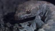 Hawaiian mourning gecko bites at foot in order to shed skin..