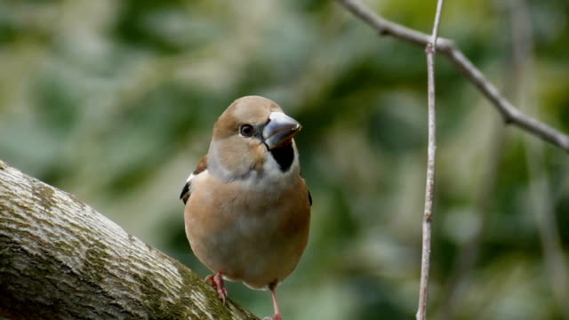 Hawfinch (Coccothraustes coccothraustes), perching on tree