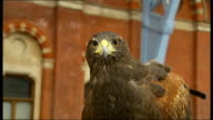 Hawk brought in to St Pancras station to deter pigeons 'Elektra' hawk talons gripping handlers' glove Pigeon flying from station rafters